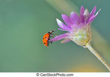 mariquita, en, xeranthemum, flor