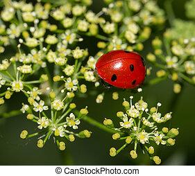 Mariquita, escarabajo, naturaleza