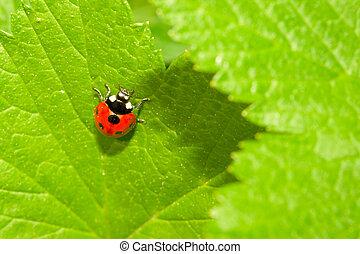 mariquita, hoja, (coccinella, verde, septempunctata), rojo