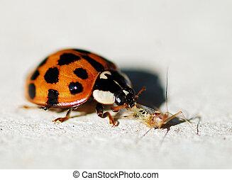 mariquita, (ladybug), comida, aphid.