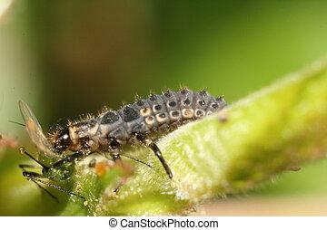 mariquita, larvas, comida, áfido