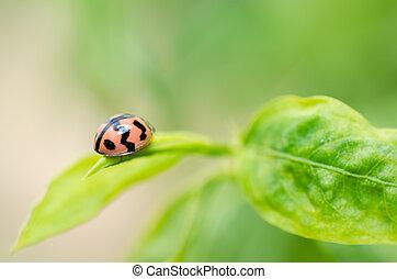 mariquita,  macro, verde, naturaleza