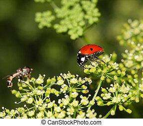 mariquita, naturaleza,  macro