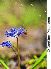 mariquita, primavera, bellflowers, lluvia, solo, violeta, durante