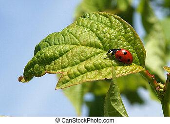 Mariquita,  septempunctata,  coccinella, escarabajo