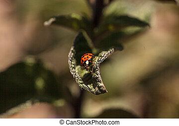 mariquita,  septempunctata,  coccinella