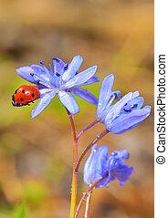mariquita, solo, flores, violeta