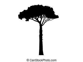 Maritime Pine tree, Pinus Pinaster mediterranean plant, ...