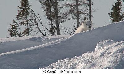 maritimus), ours blanc, (ursus