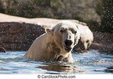 maritimus, polar, bekannt, ursus, bär