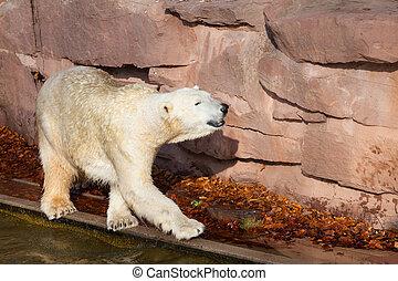 maritimus, polar, -, ursus, bär