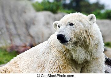 maritimus, -, ursus, polarbear