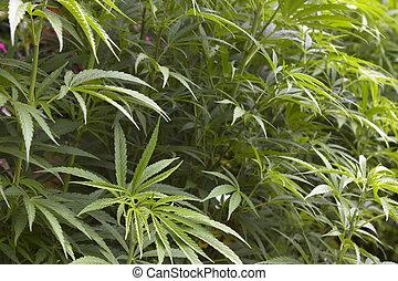 marjuana, colheita