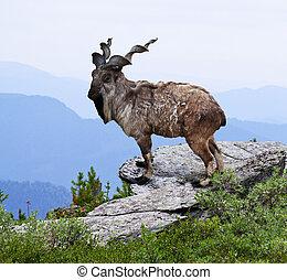 markhoor in wildness area - markhoor on rock in wildness...