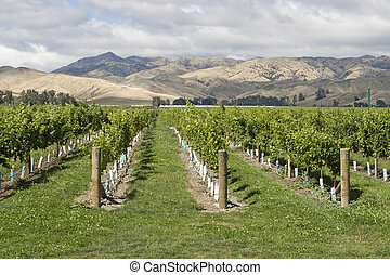 Vineyard with view on mountain range in New Zealand