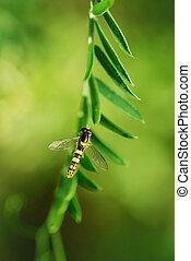 Marmalade Hoverfly - Episyrphus balteatus on green plant.