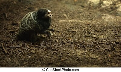 Marmoset monkey eats larvae. She collects them from the...