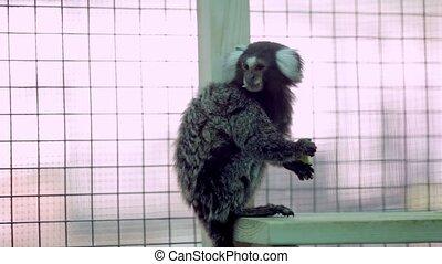 Marmoset monkey sits and eats an apple. shooting hand