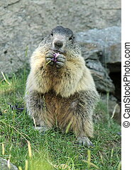Marmot eating
