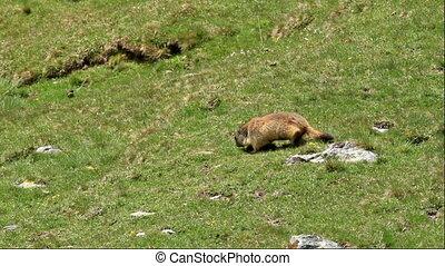 Marmot in Spain