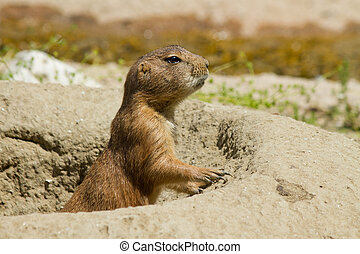 marmot in the den