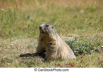 marmot in the swiss mountains on a sunny day