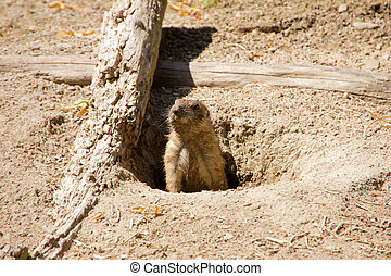 Marmot looking out of the hole in the ground