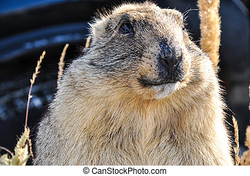 Marmot - mammal, representative of rodents