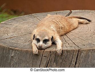 Marmot on a tree-stump - Marmot lies on a tree-stump looking...