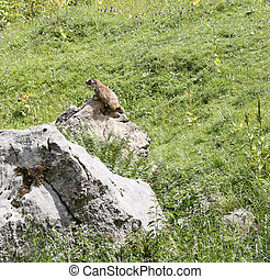 marmot on top of the rock in the mountains