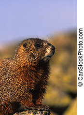 a cute side portrait of a yellow bellied marmot
