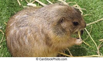 marmot prairie groundhog eating - Petting marmot prairie...