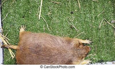 marmot prairie groundhog lying - Petting marmot prairie...