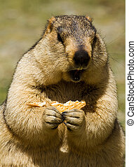 Marmot with bisquit on the meadow (Ladakh, India)