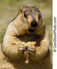marmota, bisquit, pradera