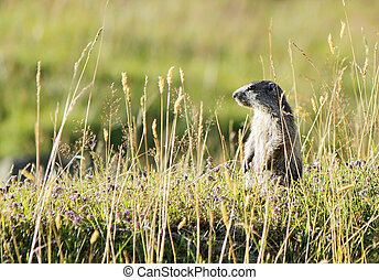 Marmoton in the grass