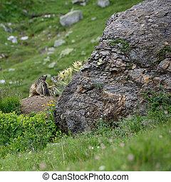 Marmots family