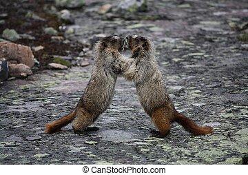 Marmots fighting