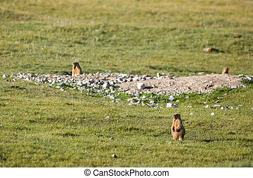 Marmots in the field
