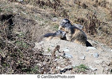 The marmots control the entrance to their den.