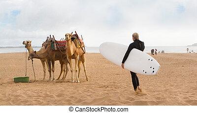 maroc, essaouira, surfeur, chameaux, femme, afrique., plage