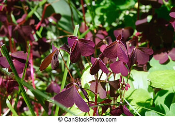 Maroon leaves oxalis in the summer garden.