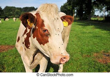 marrón, blanco, vaca