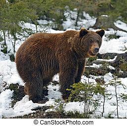 marrón, bosque, invierno, oso