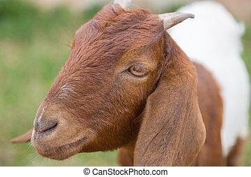 marrón, cámara, goat, verde, naturaleza, encantador, mirar