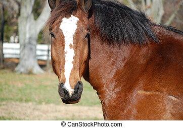 marrón, caballo, blanco, raya