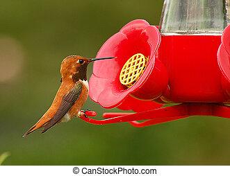 marrón, colibrí