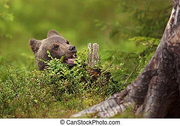 marrón, comida, oso, eurasiático, cachorro, boreal, arándano, bosque