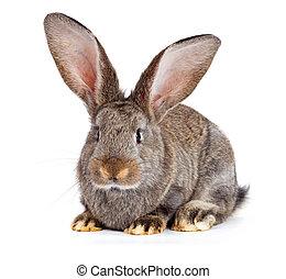 marrón, conejo blanco, plano de fondo