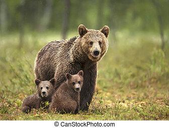 marrón, ella, oso, eurasiático, cachorros, hembra, bosque boreal